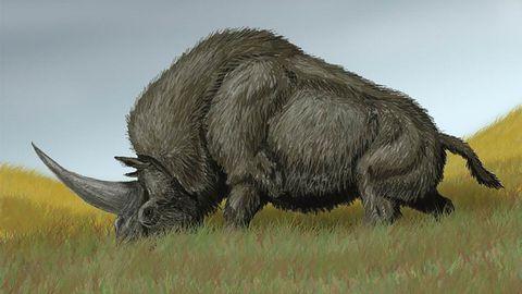 El llamado unicornio siberiano pudo haber convivido con los primeros humanos modernos