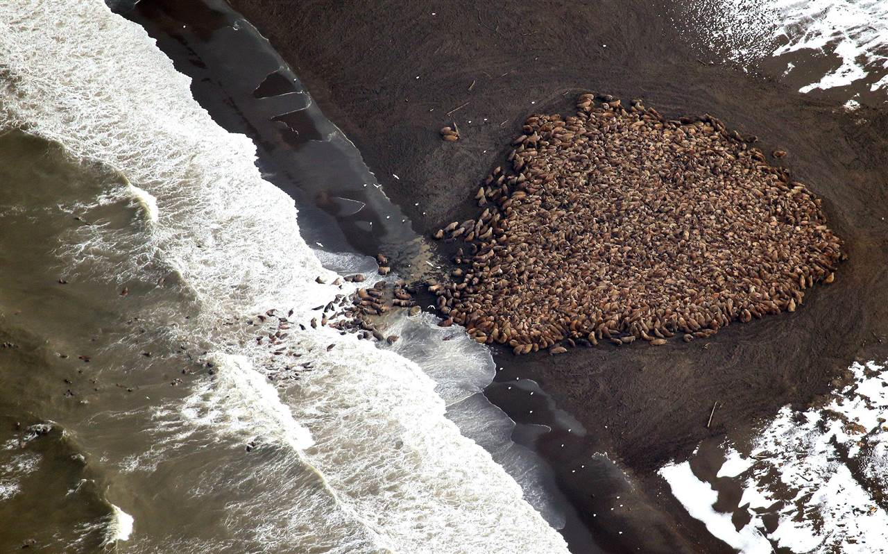 35.000 morsas nómadas viajan en busca de hielo