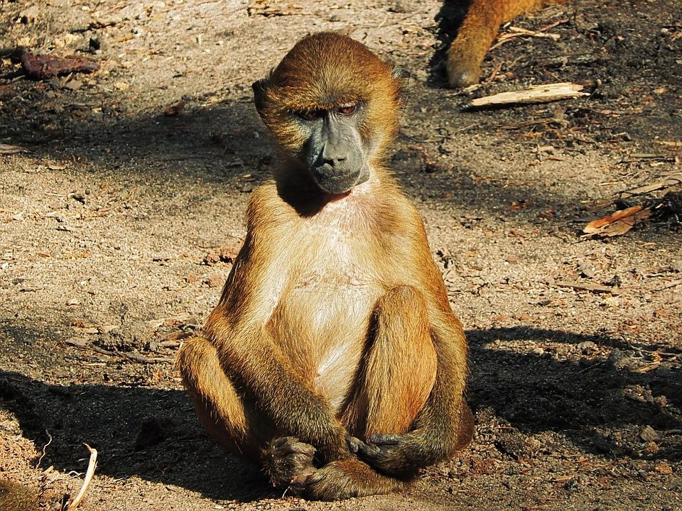 ¿A quién fastidia más la vida una infancia difícil? ¿A un babuino o a un humano?