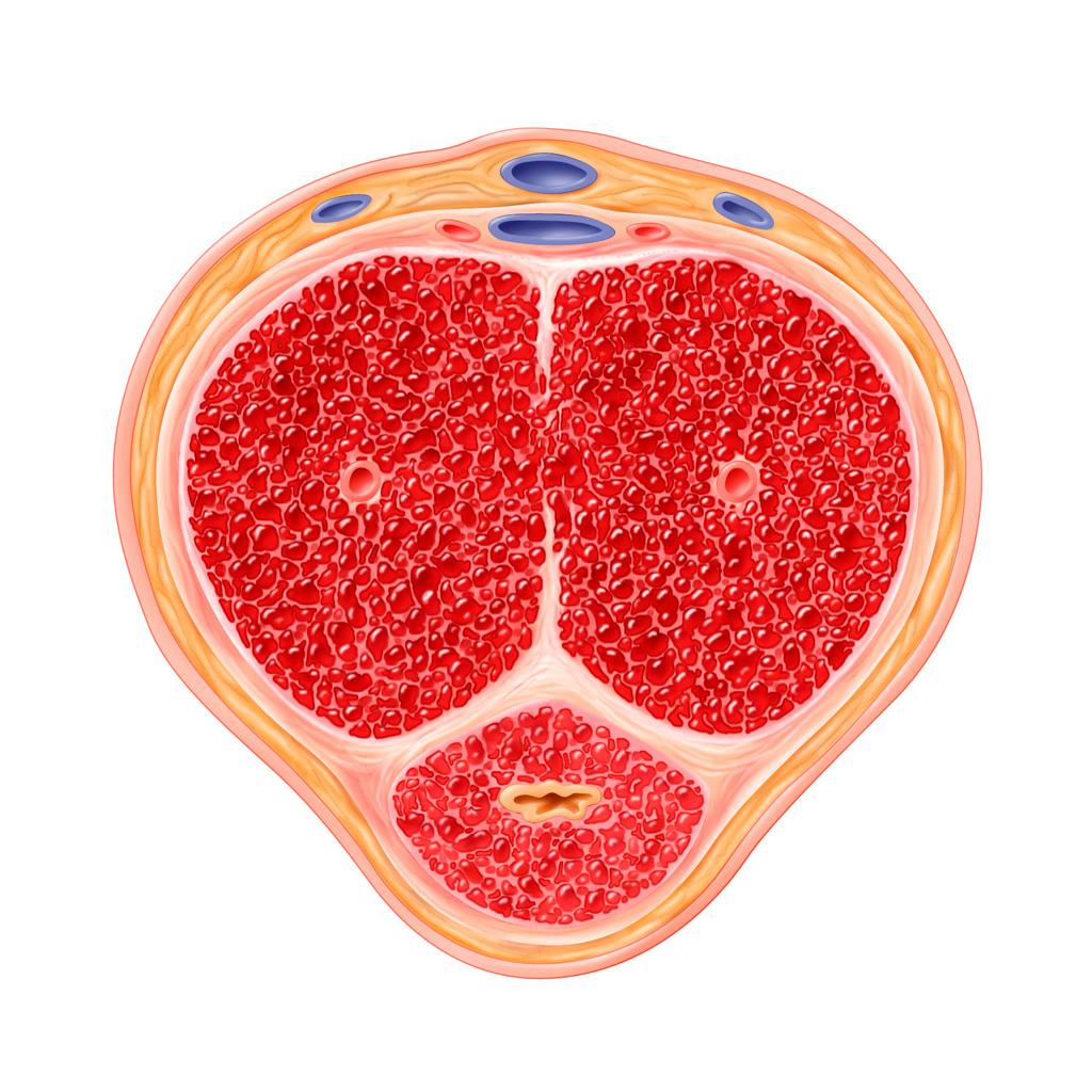 Adiós Viagra: las células madre podrían acabar con la disfunción eréctil