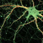 Adultos y jóvenes crean la misma cantidad de neuronas nuevas