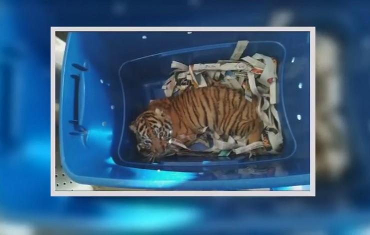 Alguien intentó enviar un tigre de Bengala por correos