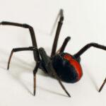 Algunas arañas macho se aparean con hembras inmaduras para no ser devoradas