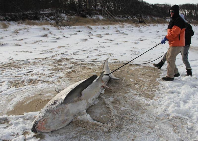 Algunos tiburones se han congelado en Estados Unidos por culpa del frío