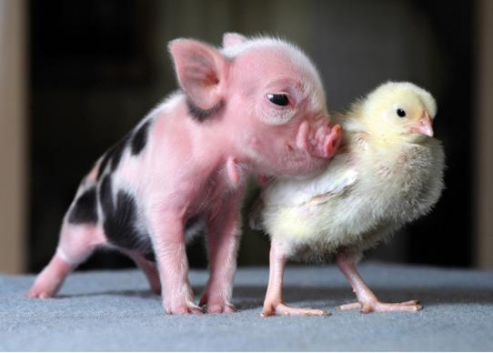 Animales pigmeos