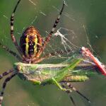 Arañas comiendo y siendo comidas