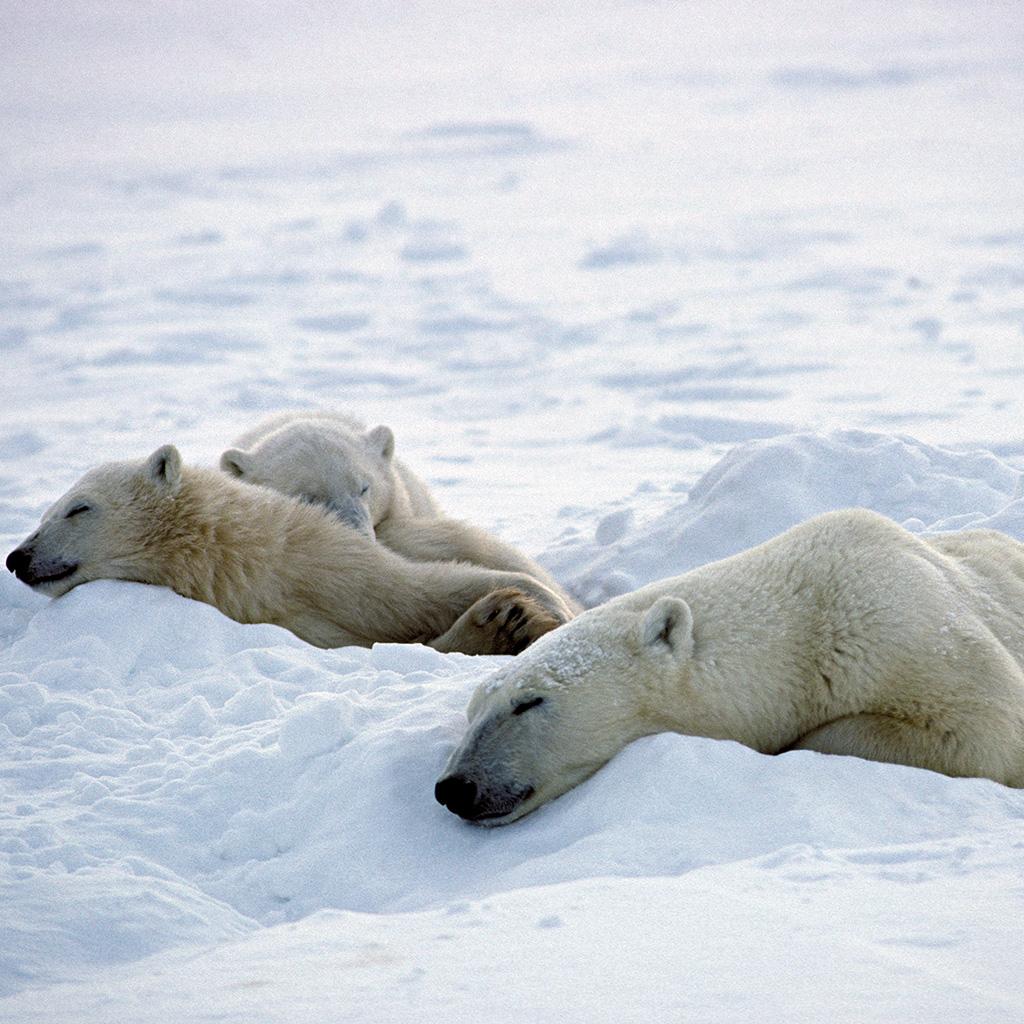 Así es cómo consiguen dormir de día los animales polares