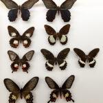 Así evolucionaron su camuflaje las mariposas