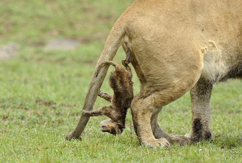 Así nace un león