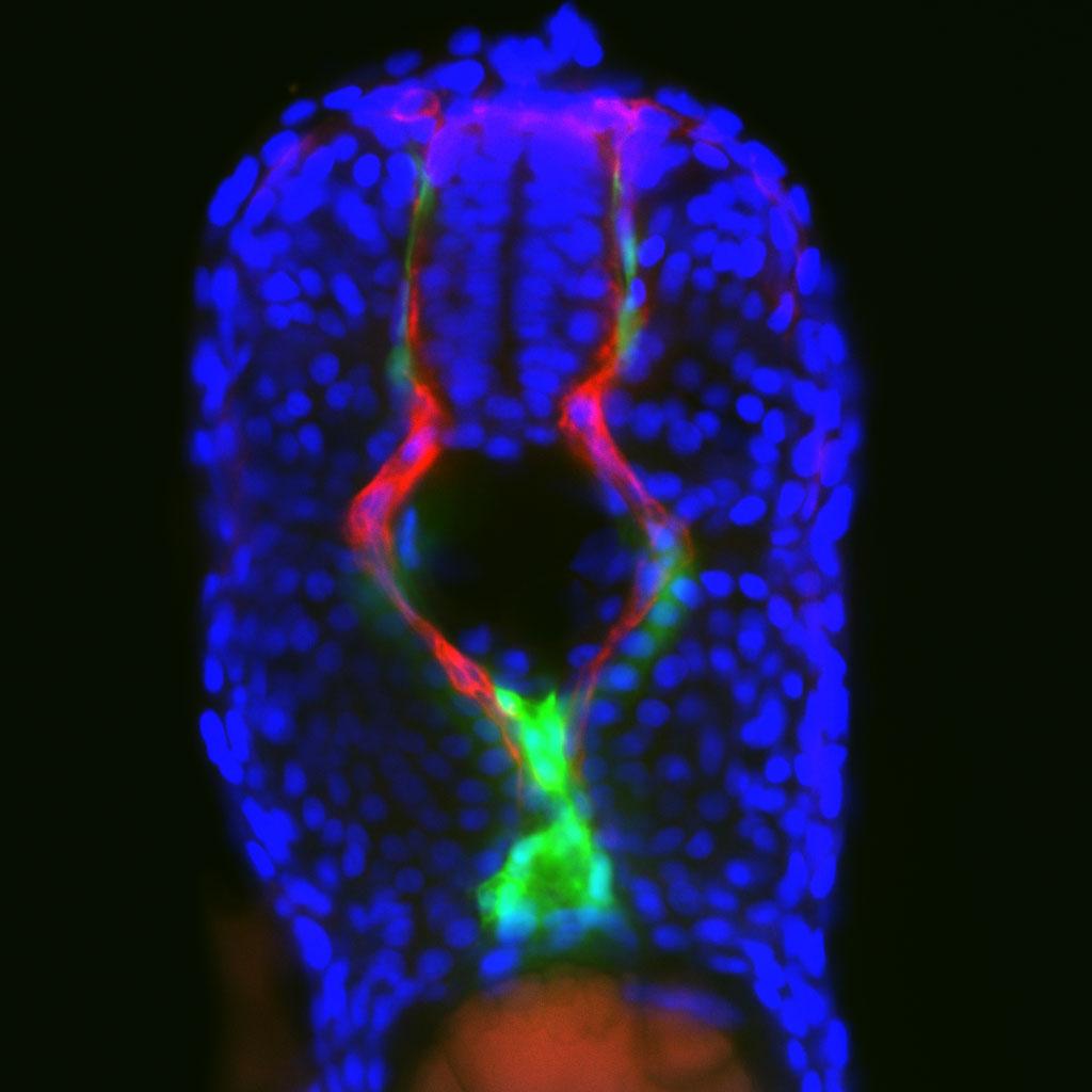Así nacen las células sanguíneas
