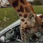 Así saca su cabeza de un coche una jirafa