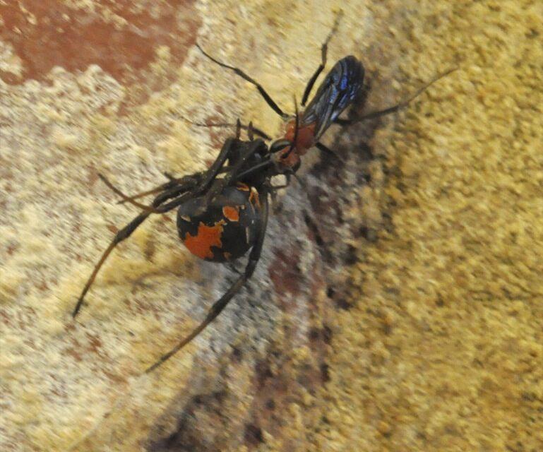 Avispa contra araña