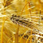 Avispas como insecticida