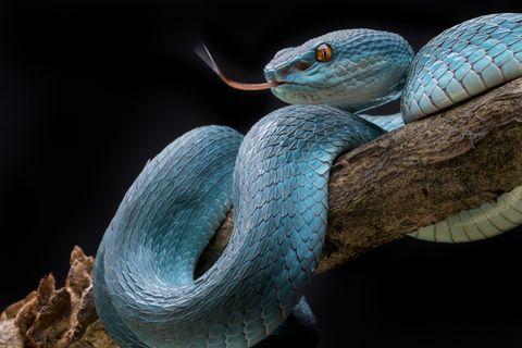 La OMS lanza una nueva estrategia para reducir las muertes y efectos de las mordeduras de serpientes