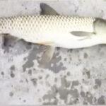 Capturan un pez con cabeza de paloma. ¿Realidad o fake?