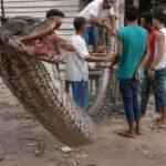 Cazan una pitón monstruosa en Indonesia