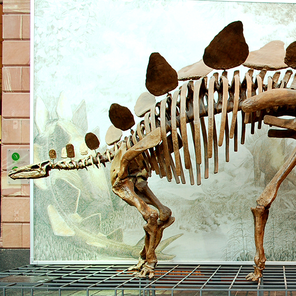 ¿Chico o chica? Adivina qué era este Stegosaurus