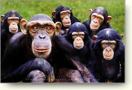 ¿Chimpancés locos?