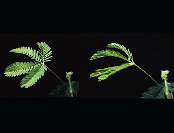 ¿Cómo se retraen las hojas de la mimosa cuando las tocas?