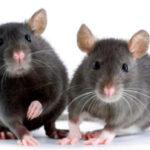 Consiguen que los ratones se vuelvan cobardes o valientes manipulando su cerebro
