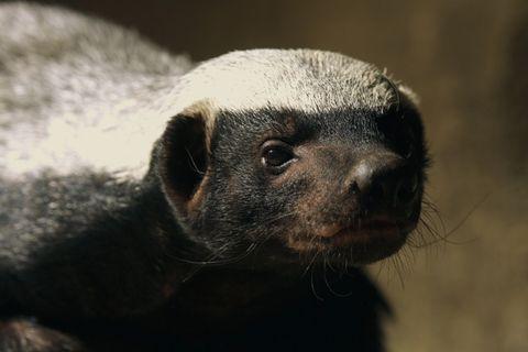 ¿Cuál es el mamífero más agresivo del mundo?