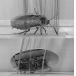 Cuando las cucarachas dominen el mundo, como robots