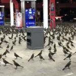 """Cuando una escena de """"Los Pájaros"""" de Hitchcock se convierte en una realidad"""
