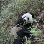 ¿Cuánto cuesta salvar al panda?