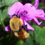 Cuantos más pesticidas comen los abejorros, más les gustan