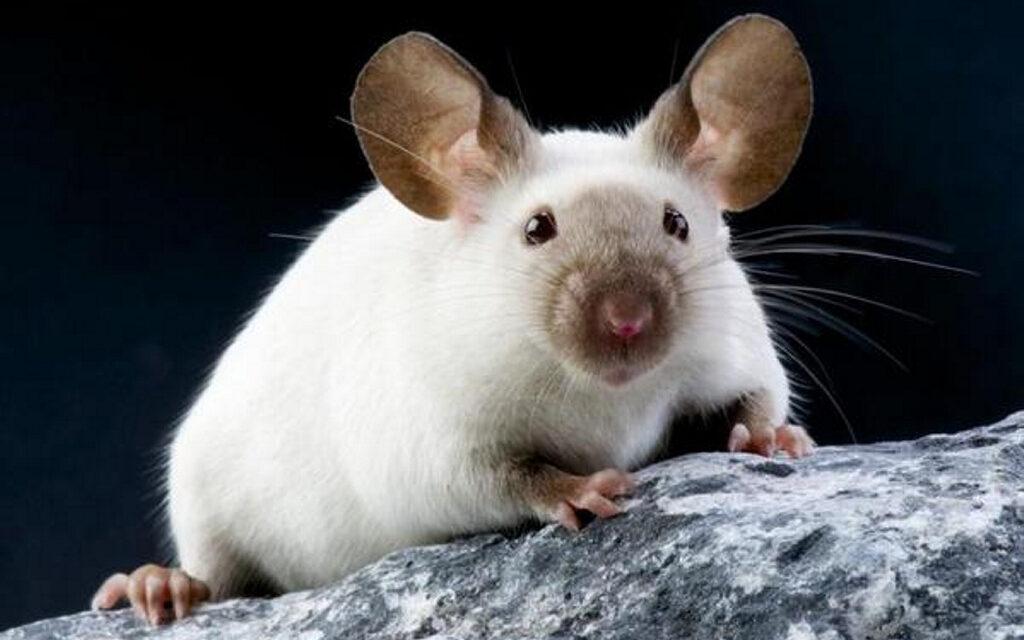 Curan la sordera en ratones mediante la edición genética