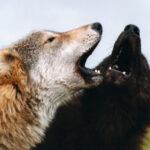 De colores se visten los lobos