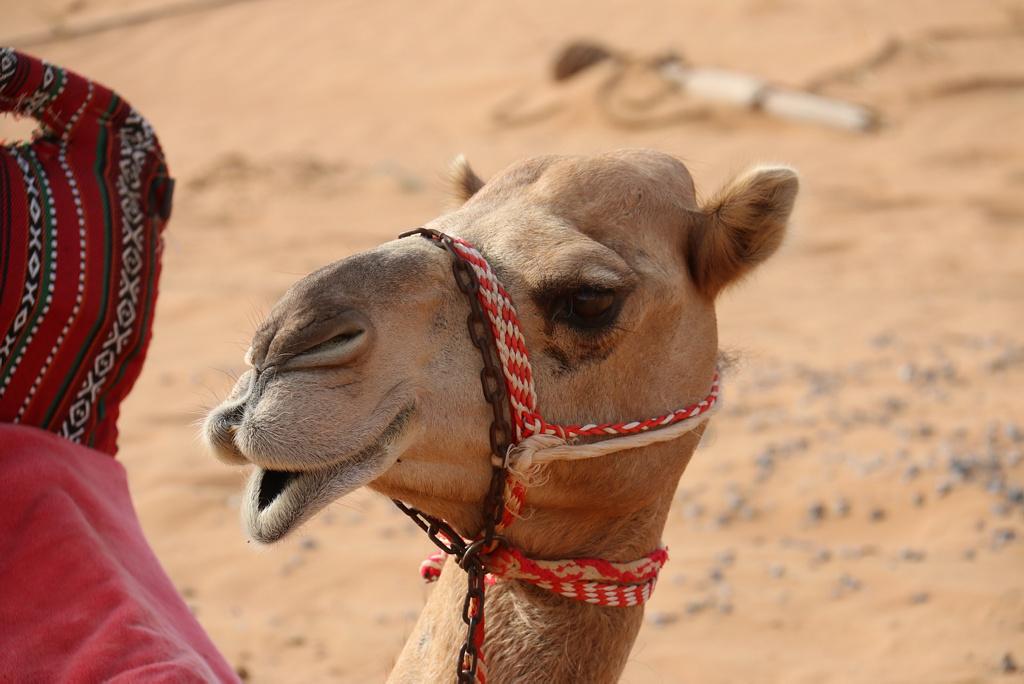Descalifican a doce camellos de un concurso por tener botox