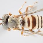 Descubren 15 nuevas especies de abejas