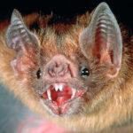 Descubren cómo el murciélago vampiro puede sobrevivir alimentándose solo con sangre