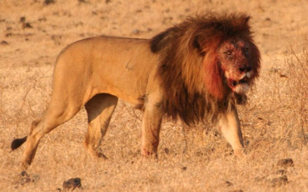 Descubren en África restos de leones gigantes