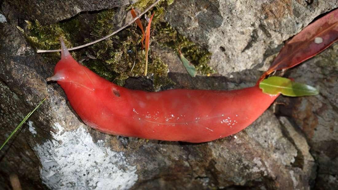 Descubren en Australia una babosa de color rosa chillón