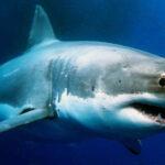 Descubren en Taiwan un tiburón intersexual