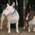 Descubren la causa de la acrodermatitis, la enfermedad que mata a los bull terriers