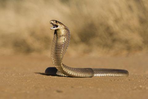 Descubren por qué las serpientes perdieron las extremidades