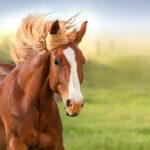 Descubren que el olor de la lavanda tranquiliza a los caballos