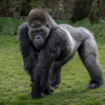 Descubren que hay más gorilas de los que se creía