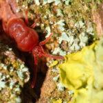 Descubren que la picadura de un tipo de ácaros también produce alergia a la carne