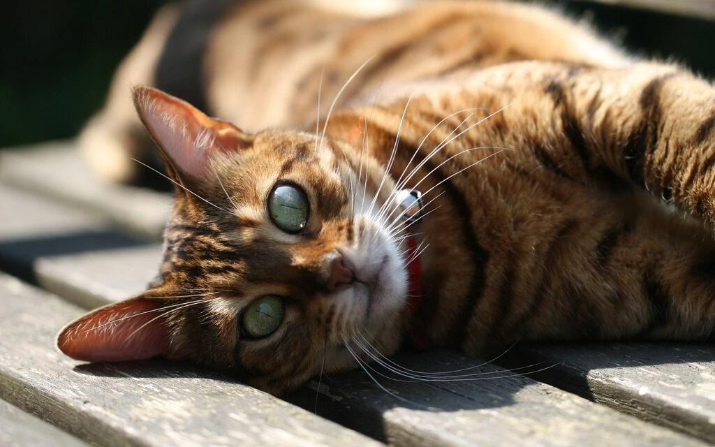 Descubren que las gatas son diestras y los gatos zurdos