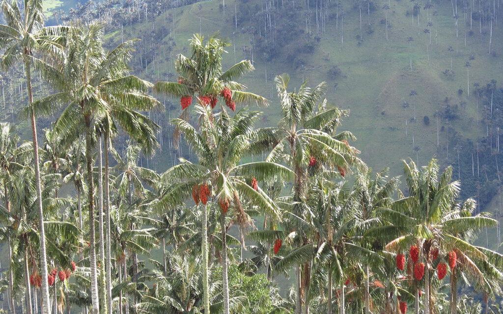 Descubren que las palmeras colombianas están cambiando de sexo