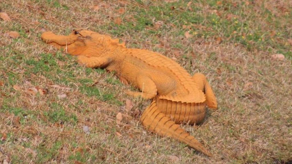 Descubren un caimán de color naranja