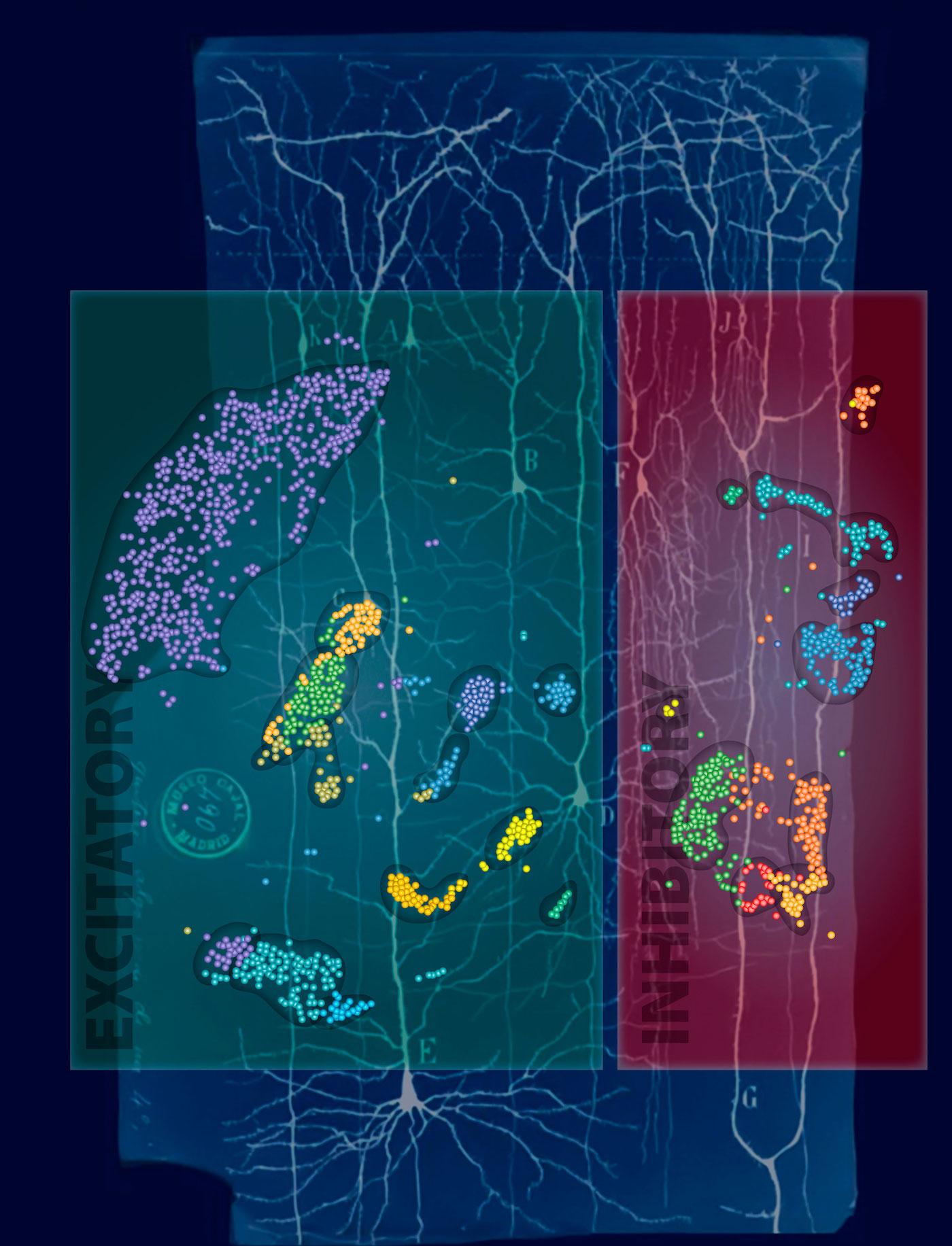 Descubren un nuevo tipo de neuronas