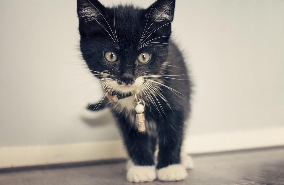 Descubren un nuevo virus en gatos