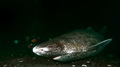 Un tiburón dormilón vive dentro de un volcán activo