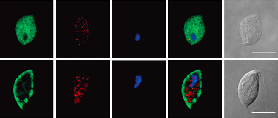 Descubren una célula eucariota sin mitocondria