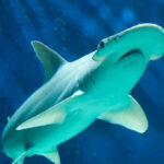 Descubren una especie de tiburón que también come algas y plantas